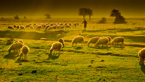 GRAZING SHEEP © Emrahgultekin | Dreamstime.com